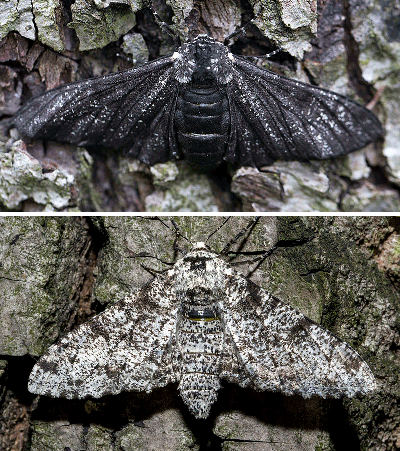 peppered-moths-compared