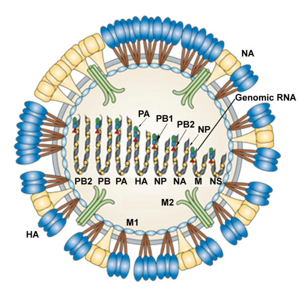 Influenza-A-virus-structure-Influenza-is-an-enveloped-virus-whose-genome-is-constituted